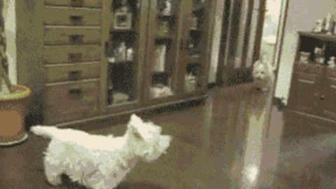 Westie GIFs - Get the best GIF on GIPHY