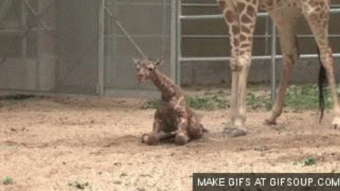 Ubrugte Baby Giraffe GIF - Find & Share on GIPHY CR-37